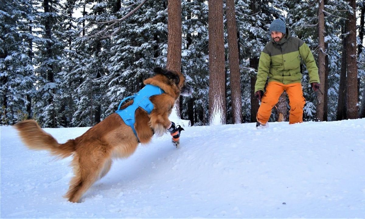 Arwen the Tripawd Snow Dog